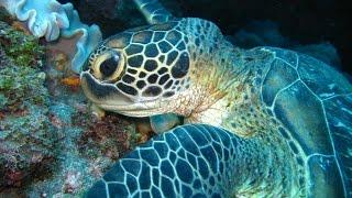 La réunion : Algues rouges et tortues vertes