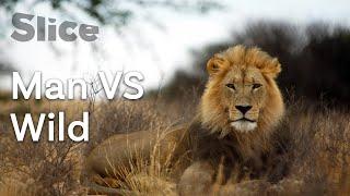 L'homme face au roi des animaux