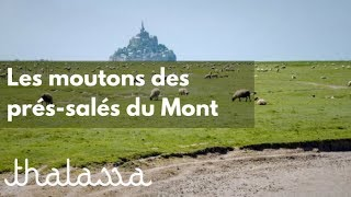 Les moutons des prés-salés du Mont
