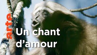 Documentaire Appli de rencontre… pour gibbons en Chine