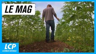Cannabis thérapeutique : la voie de l'apaisement