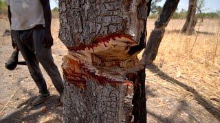 Ces arbres qui saignent