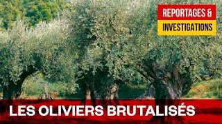 La guerre des oliviers