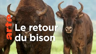 Le bison | Les animaux sauvages d'Europe