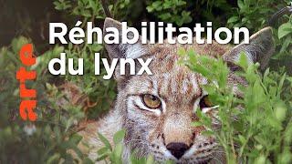 Le lynx | Les animaux sauvages d'Europe