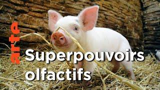 Le monde fabuleux des porcs | Super cochon