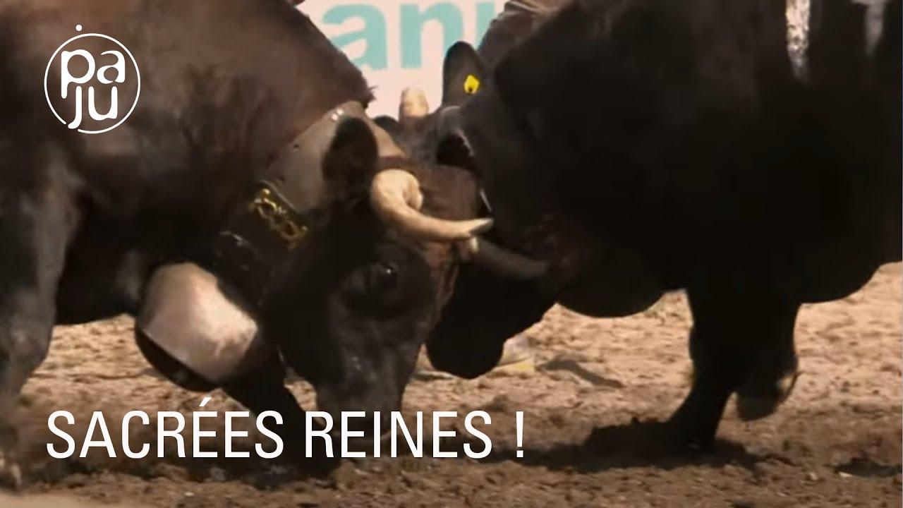 Documentaire Les amoureux de la race d'Hérens racontent la belle histoire de cette vache d'exception