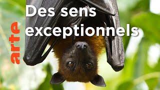 Documentaire Les chauves-souris   Les superpouvoirs des animaux