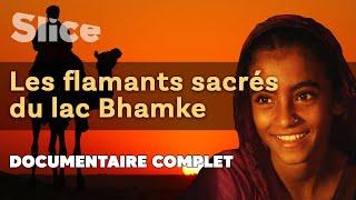 Documentaire Les flamants sacrés du Lac Bhamke