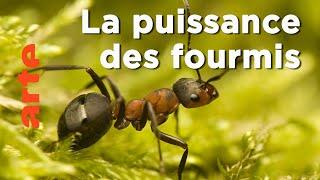 Documentaire Les fourmis | Les superpouvoirs des animaux
