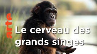 Documentaire Les grands singes   Les superpouvoirs des animaux