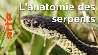 Documentaire Les serpents | Les superpouvoirs des animaux