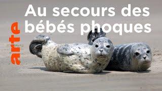 Mer du Nord, sauvons les bébés phoques
