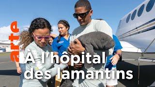 Porto Rico, un centre de soins pour sauver les lamantins