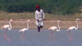 Terres de légendes | Inde, les flamants sacrés du lac Bhamké