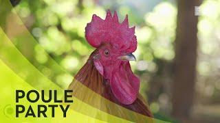 Documentaire Cool les poules !