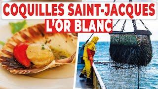 Coquilles Saint-Jacques : à la recherche de l'or blanc