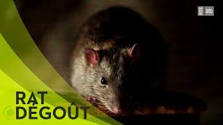 Documentaire La chasse aux rats