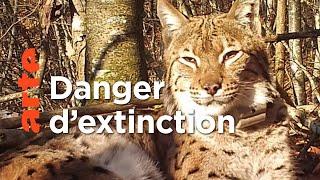 La réintroduction du lynx fait débat en Europe