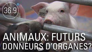 Les animaux futurs donneurs d'organes ?