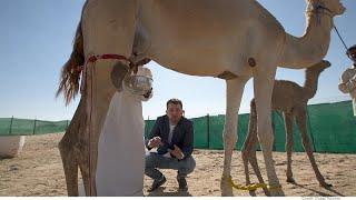 Documentaire Du désert au dessert, le lait de chamelle entre dans la composition du chocolat