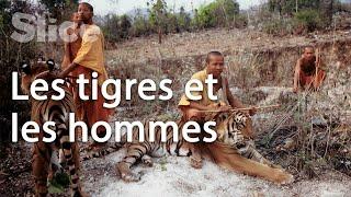 Documentaire La relation entre les hommes et le félin sacré en Asie du sud-est