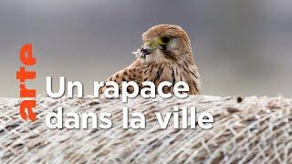 Documentaire Le faucon crécerelle
