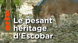 Les hippopotames de Pablo Escobar