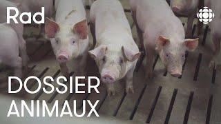 Quelles conditions de vie pour le porc d'élevage?