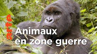 Virunga, les gorilles en péril